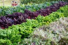Kale Royalty Free Stock Image