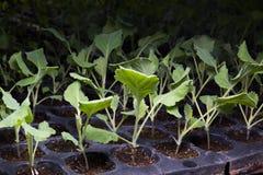 Kale sadzonkowy warzywo w plastikowej tacy zdjęcie stock