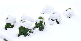Kale in snow Royalty Free Stock Image
