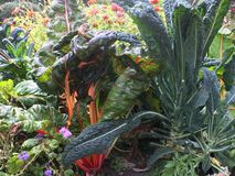 Kale and swiss chard in garden with flowers. Brassica Toscano kale and Bright Lights swiss chard in garden with zinnias and wildflowers stock photo