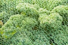 Kale under protection net stock photo