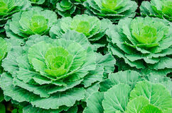 Kale vegetable. Farm in the afternoon Stock Photography