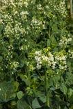 Kale vegetable in garden. Flower kale vegetable in garden Royalty Free Stock Photo