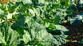 Kale at the vegetable garden. Organic kale vegetable garden. Home grown vegetable garden in slow motion stock video footage