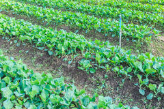 Kale vegetable garden plant Stock Photo