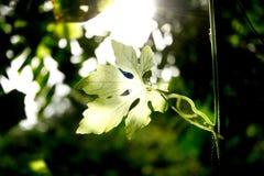 kalebass Royaltyfri Fotografi