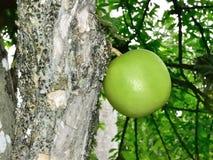 Kalebass av det Higuero trädet Royaltyfri Foto