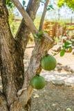 Kalebassebaum Kräutergarten-Curaçao-Ansichten Stockbilder