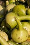 Kalebassenkürbirs cucurbita pumpkin pumpkins from autumn harvest Royalty Free Stock Image