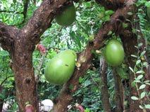 Kalebassträd eller Crescentia Fotografering för Bildbyråer
