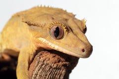 Kaledoński czubaty gekon na białym tle Fotografia Stock