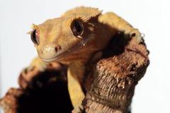 Kaledoński czubaty gekon na białym tle Zdjęcie Stock