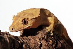 Kaledoński czubaty gekon na gałąź Fotografia Royalty Free