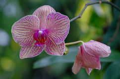 Kaleidoscope Orchid Royalty Free Stock Photography