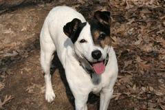 Kalenderaffischhund Jack Russell Terrier Fall royaltyfria foton