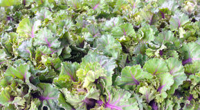 Kalettes fresh from the Field as Background Royalty Free Stock Photos