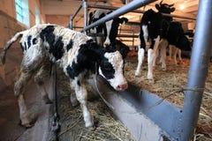 Kalf en koeien Royalty-vrije Stock Afbeeldingen