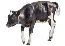 Kalf, koe op witte achtergrond, de landbouw, witte ungulate achtergrond, stock afbeelding