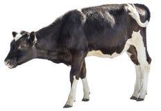 Kalf, koe op witte achtergrond, de landbouw, witte ungulate achtergrond, stock fotografie