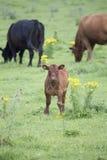 Kalf op een landbouwbedrijf Royalty-vrije Stock Afbeelding
