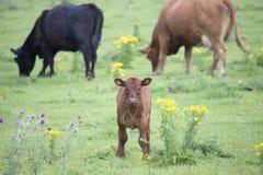 Kalf op een landbouwbedrijf Royalty-vrije Stock Foto