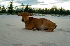 Kalf op het zandige strand stock fotografie