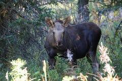 Kalfsamerikaanse elanden in het bos stock fotografie