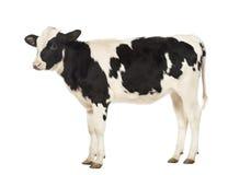 Kalfsvlees, 8 maanden oud Royalty-vrije Stock Afbeeldingen