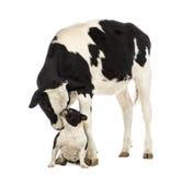 Kalfsvlees, 8 maanden oud, die een Franse buldogzitting voor hem snuiven royalty-vrije stock fotografie