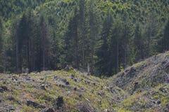 Kalhygge tecken av återbeskogningen Arkivbild