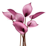 kalia kwiat Zdjęcia Royalty Free