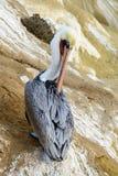 Kalifornia brązu pelikan siedzi samotnie przygotowywać obrazy stock