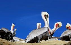 Kalifornia Brown pelikan, losu angeles Jolla zatoczka, San Diego zdjęcie stock