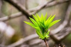 Kalifornia Buckeye drzewni narastający nowi liście, Kalifornia obrazy royalty free