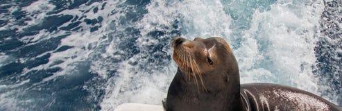 Kalifornia Dennego lwa czekanie dla rybiej zapomoga z tyłu status łodzi rybackiej w Cabo San Lucas Baj Meksyk zdjęcia stock