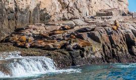 Kalifornia denni lwy Zdjęcie Stock