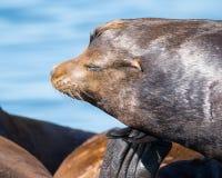 Kalifornia Denni lwy odpoczywa na spławowym doku Obraz Stock