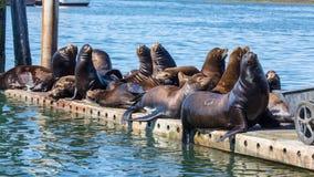 Kalifornia Denni lwy odpoczywa na spławowym doku Zdjęcia Royalty Free