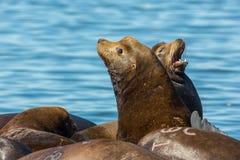 Kalifornia Denni lwy odpoczywa na spławowym doku Zdjęcie Royalty Free