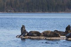 Kalifornia Denni lwy przy cipy zatoką, wschodnia Vancouver wyspa, Bri obrazy royalty free