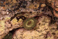 Kalifornia denny anemon Obrazy Royalty Free