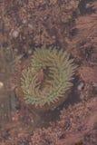 Kalifornia denny anemon Obraz Stock