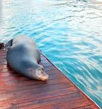 Kalifornia Denny lew na doku w Cabo San Lucas Baj Meksyk Zdjęcie Stock