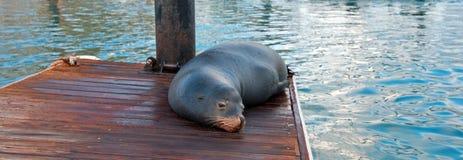 Kalifornia Denny lew na marina łódkowatym doku w Cabo San Lucas Baj Meksyk zdjęcie royalty free