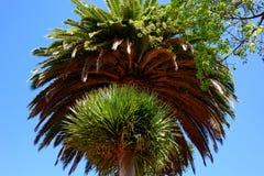 Kalifornia drzewka palmowe Zdjęcie Royalty Free