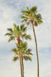 Kalifornia drzewka palmowe Fotografia Royalty Free