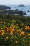 Kalifornia Dzicy maczki i Nabrzeżna wiosna Fotografia Stock