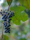 Kalifornia dziki winogrono wzdłuż rzeki zdjęcie royalty free