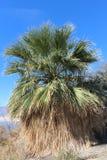 Kalifornia fan palma Zdjęcie Stock