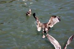 Kalifornia frajer wzdłuż San Fransisco zatoki, Kalifornia, Larus californicus Zdjęcie Royalty Free